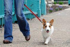 Corgi Freddy takes a walk, what a handsome boy!