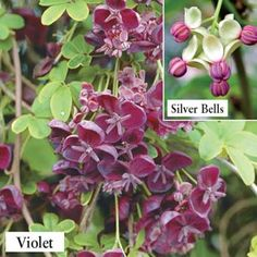 Chocolate Vine; 15' to 20' vine growth, zones 4-9, partial shade to full sun, lilac-purple flowers, large, edible seedpods ripen in early August and taste like tapioca pudding! Plant 2 varieties for pollination