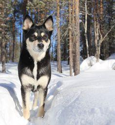 Snow princess Seita. Lapponian herder, lapinporokoira, koira, dog, finland, lapland Cute Dog Photos, Great Photos, Spitz Breeds, Winter Magic, Doge, Primitives, Finland, Cute Dogs, Husky