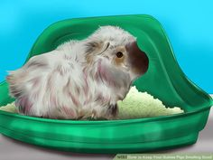 Image titled Keep Your Guinea Pigs Smelling Good Step 3