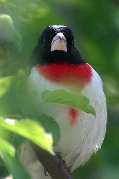 Rose-breasted Grosbeak (Cardinalidae: Pheucticus ludovicianus)