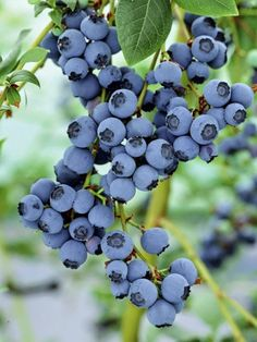 How To Grow Blueberries | Dreaming Gardens