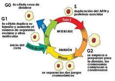 Imagen del ciclo celular. La interfase está compuesta por la fase G1 (crecimiento celular), seguida de la fase S (síntesis de ADN), seguida de la fase G2 (crecimiento celular). Al final de la interfase viene la fase mitótica, que se compone de mitosis y citocinesis, y conduce a la formación de dos células hijas. Mitosis, Medicine Notes, Cell Cycle, Molecular Biology, Biotechnology, Physiology, Chemistry, Anatomy, Science