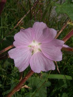Photos fleurs des champs, pres ou jardins fleur mauve.jpg
