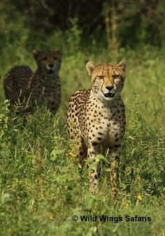 Cheetahs on the look out