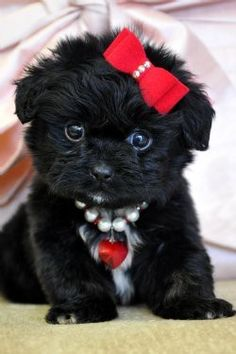 """OMG....just absolutely ADORABLE, this puppy almost looks EXACTLY like my Mom's little heathen of a """"Shorkie"""" (Shih-Tzu and Yorkie mixed) that she named """"Bella""""....still cute though!!  hahaha"""