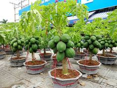 Strange Papaya Bonsai Trees in Pots Make You Millionaire - Amazing Agriculture Technology Fruit Tree Garden, Fruit Plants, Garden Trees, Fruit Trees, Garden Pots, Papaya Plant, Papaya Tree, Growing Tomatoes From Seed, Growing Tomatoes In Containers
