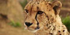 Cheetahs Are Far Closer To Extinction Than We Realized | The Huffington Post