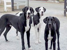 Image from http://www.rmgreatdane.org/wp-content/uploads/2014/12/Great-Danes3.jpg.
