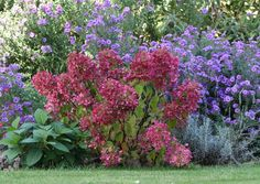 Hydrangea 'Diamond Rouge' • Enjoy a long lasting display of spectacular colour • Excellent in courtyards and cottage style gardens • Feature specimen for small gardens
