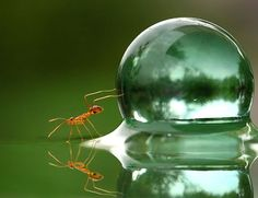 Ant pushes water droplet much larger than itself.