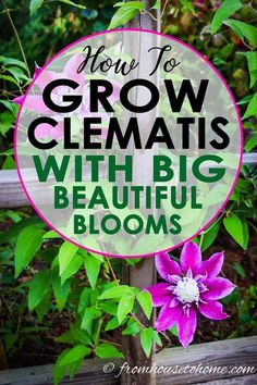 Learn how to prune, grow and care for Clematis to get those big purple, blue and pink blooms in your garden. This guide includes lots of pictures and a list of the best varieties to grow. #fromhousetohome #clematis #perennials #gardeningtips #gardenideas