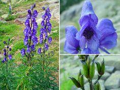 Ficha: Aconitum napellus L. subsp. vulgare Rouy et Fouc (Cataluña)