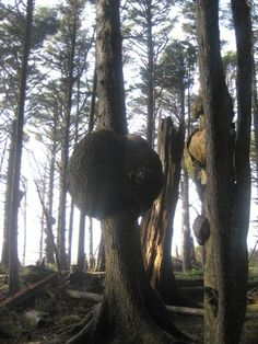 Burls, which are deformities in trees that are used to make objects d'art