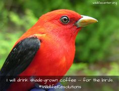 My Wildlife Resolution for 2015 is ... I will drink shade-grown coffee -- for the birds. | We learned how important shade-grown coffee is after reading Silence of the Songbirds. Making a simple change in your shopping habits can save birds and help the envrionment | The Wildlife Center of Virginia