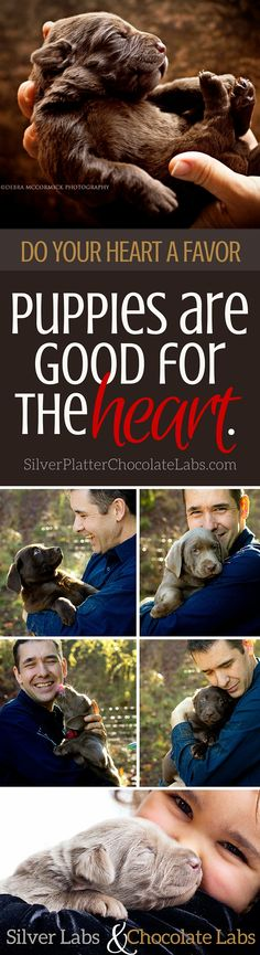 Puppies are good for the heart! Silver and Chocolate Labrador puppies. | SilverPlatterChocolateLabs.com #silverlabradors #silverlabpuppies #puppies #oregon #chocolate #labpuppies