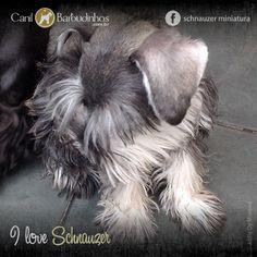 Filhotes Schnauzer Miniatura; Machos e Fêmeas; Sal e Pimenta, Preto e Prata, Branco ou Preto - http://canilbarbudinhos.com.br