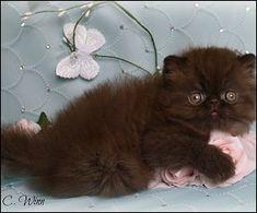 chocolate persian - Google Search