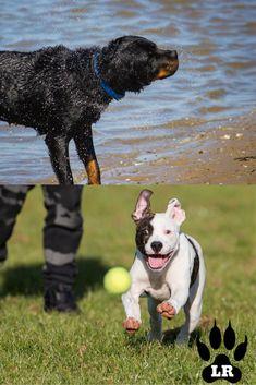 The American Bulldog Rottweiler Mix | Labrottie.com