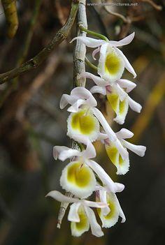 Vietnamese orchid species . Dendrobium primulinum