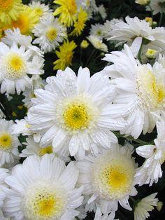 "Chrysanthemum ""Kolca Saturna"" of the Nikitsky Botanical Gardens (Ukraine) Daffodil Images, Crysanthemum, Spider Mums, Ornamental Cabbage, Mums The Word, Flower Phone Wallpaper, Pet Memorials, Dream Garden, Flower Beds"