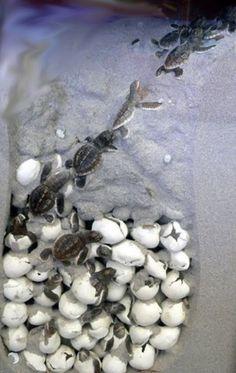 turtles hatching #turtles #nature