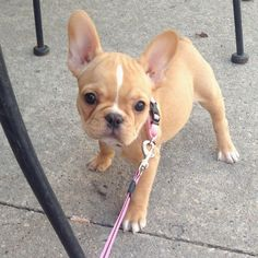 """I put the Wag in Swag"", a very sassy French Bulldog Puppy"