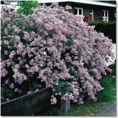 syringa persica - had one of these in Lombard and loved it!  putting this one in the front of the house off the SE corner where my garden will wrap around.  mmmmm!!  LOVE persian lilacs!!