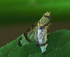 Gebandeerde kruiskruidboorvlieg - Sphenella marginata