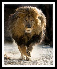 Abyssinian Lion, black maned lion