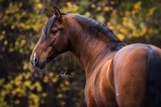 Andalusier Hengst im Portrait vor farbigen Blättern Cute Horses, Pretty Horses, Horse Love, Horse Photos, Horse Pictures, Most Beautiful Horses, Animals Beautiful, Equine Photography, Animal Photography