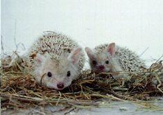 Long Eared hedgehogs