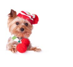 Does your pup lead a secret life as one of Santa's elves?