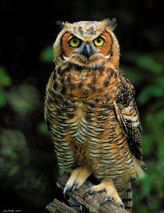 This is what I always imagined Owl in Milnes Pooh books looks like. Owl Bird, Pet Birds, Animals And Pets, Cute Animals, Funny Owls, Owl Photos, Great Horned Owl, Beautiful Owl, Mundo Animal