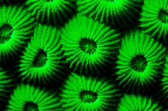 Coral - Bright green -  by Okinawa Nature Photography, via Flickr