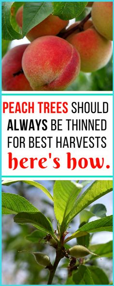 It seems so wrong to thin out viable baby peaches, but this tells exactly why it's important for getting the best harvests and also for the health of the tree art design landspacing to plant Home Vegetable Garden, Fruit Garden, Organic Vegetables, Growing Vegetables, Gardening Vegetables, Peach Tree Care, Organic Insecticide, Growing Fruit Trees, Organic Gardening Tips