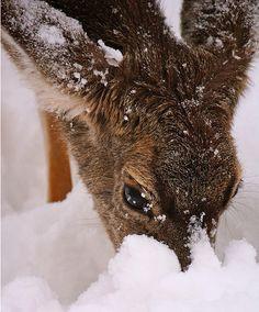 Deer and Snow #5   by parowan via flickr