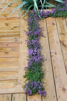 Thyme planted in deck crevices-  love this idea!