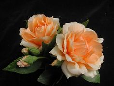 Crepuscule (PBR), an apricot climber. This rose ticks all the boxes. It produces masses of flowers on a very vigorous growing plant. Quick to repeat with good disease resitance. Works great for hedging, fences and arches. It has vey few thorns and holds most of its leaves throughout winter. It produces the best weepers. The versatility of this rose is amazing.