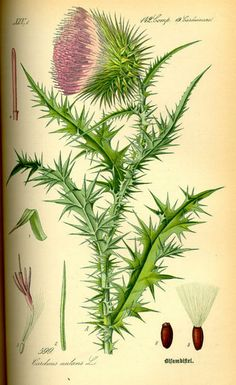 The Musk thistle or Nodding thistle (Carduus nutans) is a member of the sunflower family Asteraceae. It is a biennial herb with showy red-purple flowersand sharply spiny stems and leaves.  (via Flora von Deutschland Österreich und der Schweiz (1885))