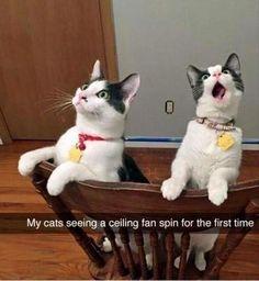 Cats ceiling fan spin