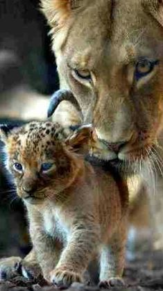 What a photo Baby Animals Pictures, Funny Animal Pictures, Cute Funny Animals, Cute Baby Animals, Cheetahs, Nature Animals, Animals And Pets, I Love Cats, Cool Cats