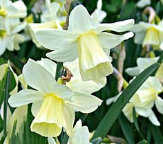 narcissus 'curlew' scent like primrose