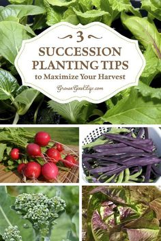 The goal of succession planting is to make the most of your garden space and keep the beds growing and producing fresh harvests. Even if your gardening season is short, there are plenty of quick maturing crops that will maximize harvests all season long. Fruit Garden, Edible Garden, Garden Plants, Potager Garden, Veg Garden, House Plants, Garden Tools, Succession Planting, Companion Planting