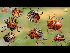 Potatoes Colorado beetles, an uncool neighbor! Plantation, Insects, Gardens, Apples, Plant