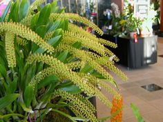 Liparis viridifolia