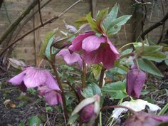 Read My Poems: Hellebore Black Walnut Tree, Plant Images, Trees To Plant, Poems, Plants, Color, Google Search, Poetry, Verses