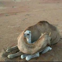 Mommy Camel protecting her baby                                                                                                                                                                                 More                                                                                                                                                                                 More