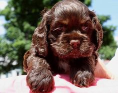 Chocolate cocker spaniel puppy. Absolutey beautiful!