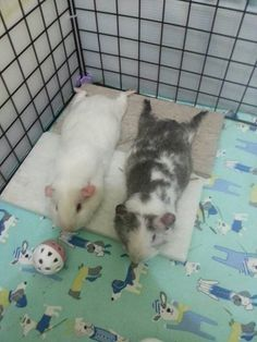 VERY relaxed piggies! :-D